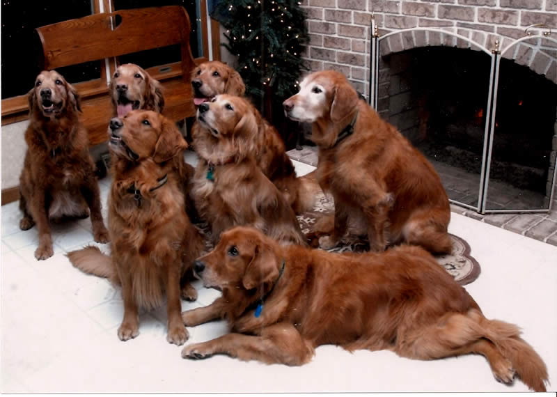 Golden Retriever - Seniors